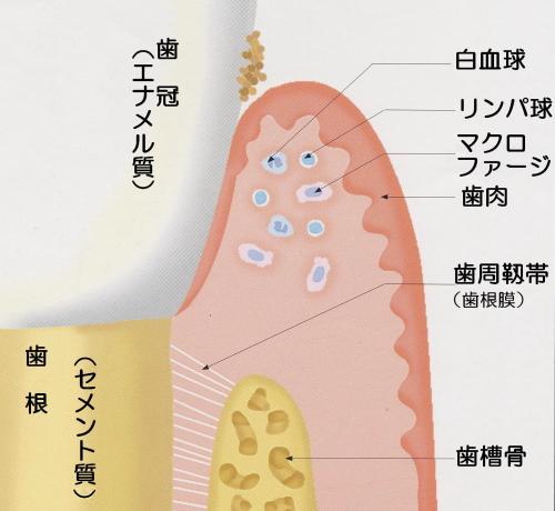 お口の中の細菌